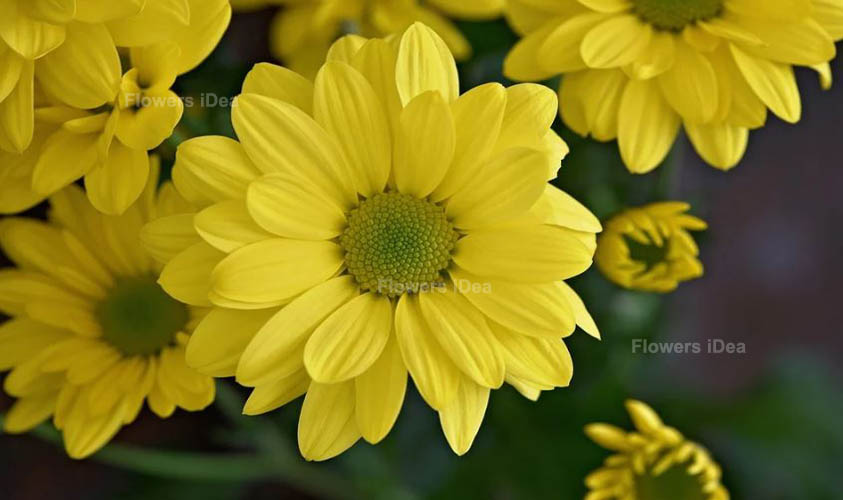 Marguerite Daisy Yellow Summer Flowers