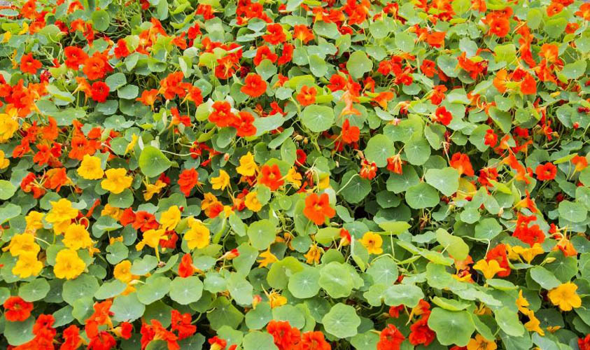 Nasturtium is one of the flowers for the vegetable garden