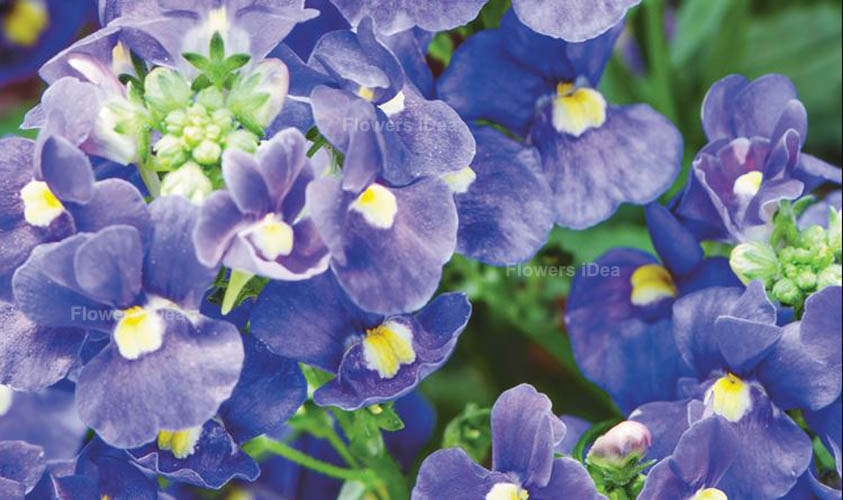 Nemesia Caerulea Blue Winter Flowers