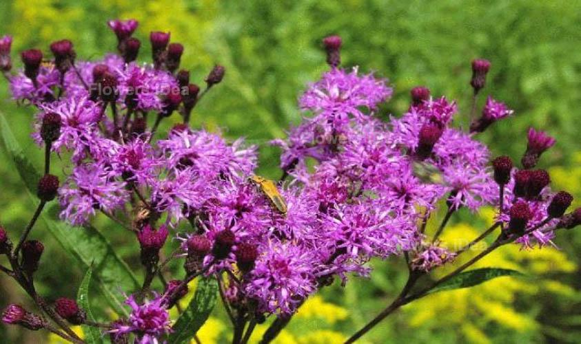 New York Ironweed Purple Fall Flowers