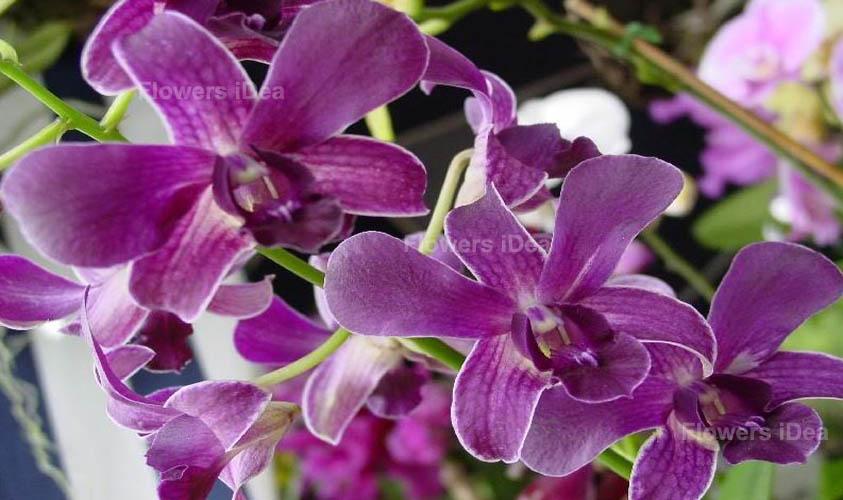 Orchid Purple Winter Flowers