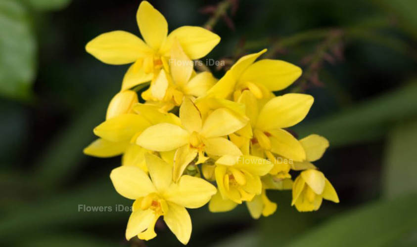 Orchid Yellow Winter Flowers