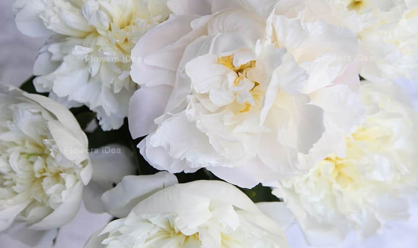 Peonies White Summer Flowers