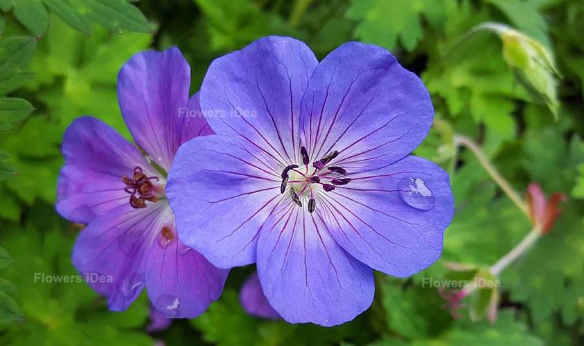 Perennial Geranium Blue Winter Flowers
