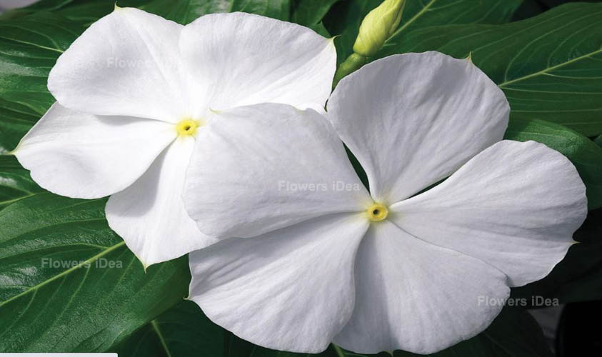 Periwinkle White Spring Flowers
