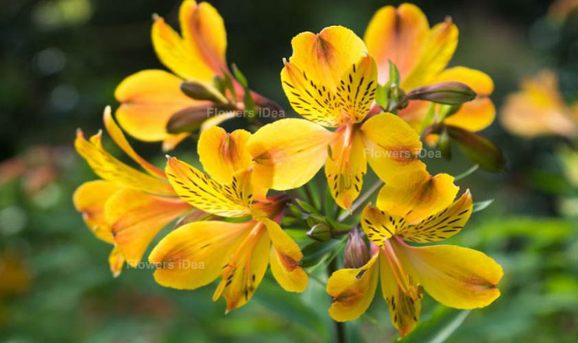 Peruvian Lily Yellow Spring Flowers