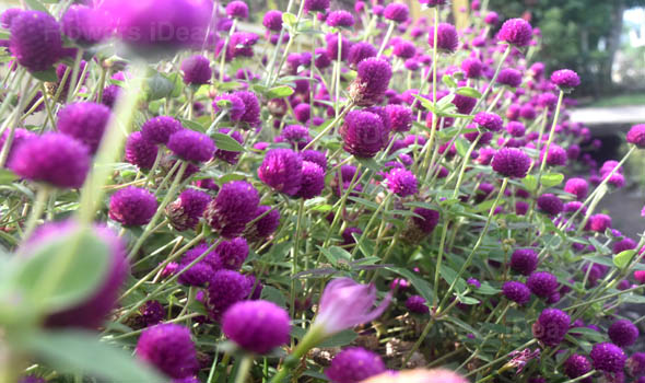 Philippine violet Purple Winter Flowers