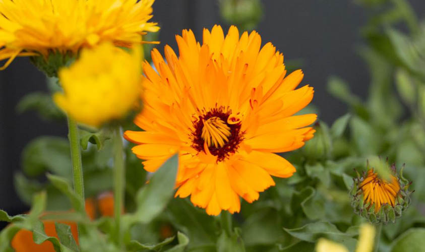 Pot Marigold is one of the flowers for the vegetable garden