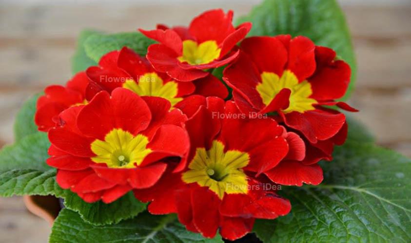 Primroses Red Summer Flowers