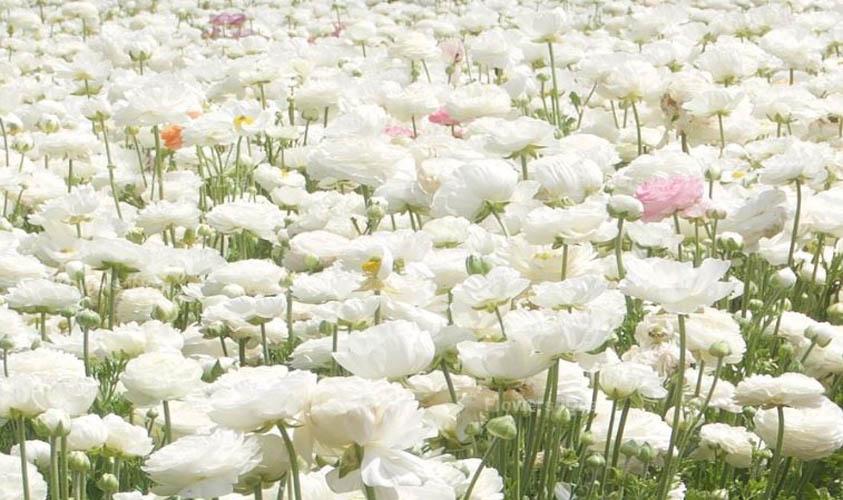 Ranunculus White Spring Flowers