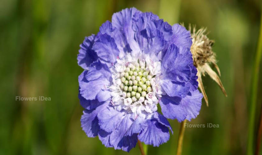 Scabiosa Summer Flowers