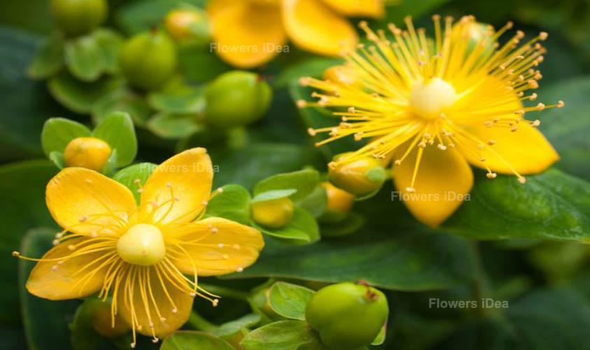 St. John's Wort Yellow Summer Flowers