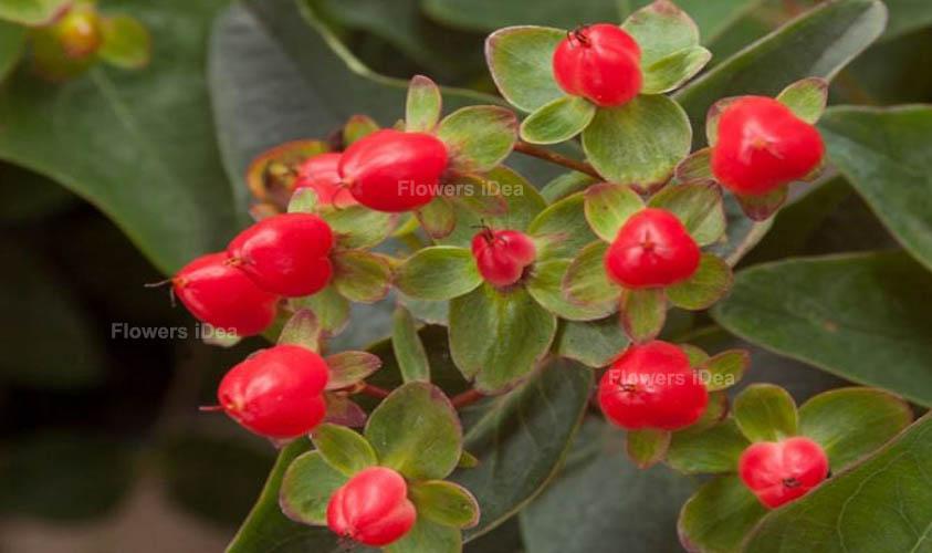St. John's Wort Red Fall Flowers