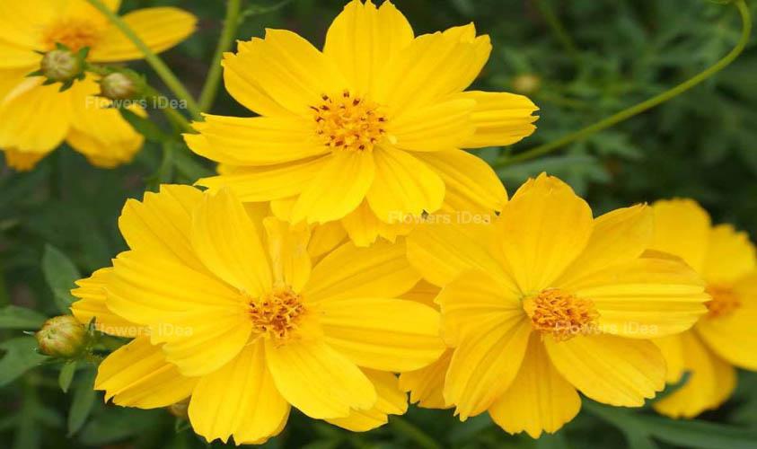 Sulfur Cosmos Yellow Summer Flowers