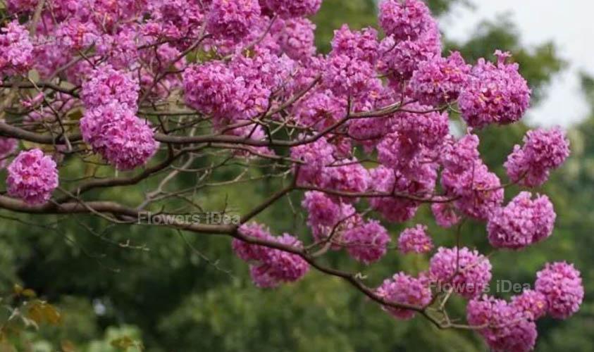 Tabebuia Purple Winter Flowers
