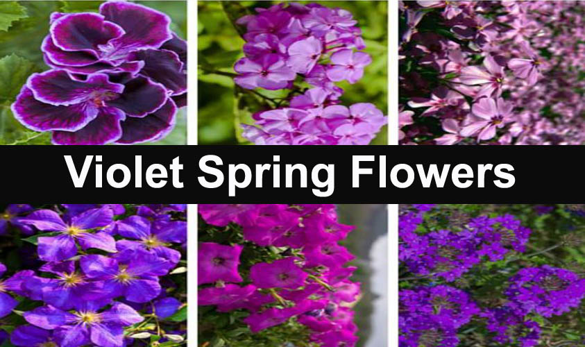 Amazing Violet Spring Flowers make Colorful your Garden