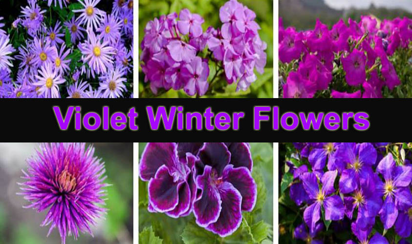Wonderful Violet Winter Flowers for Outdoor Garden