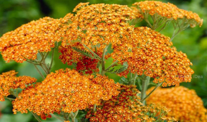 Yarrow Orange Summer Flowers