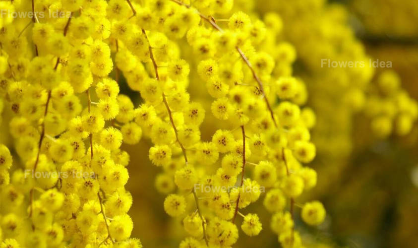 Yellow Acacia Romantic Flowers Meanings