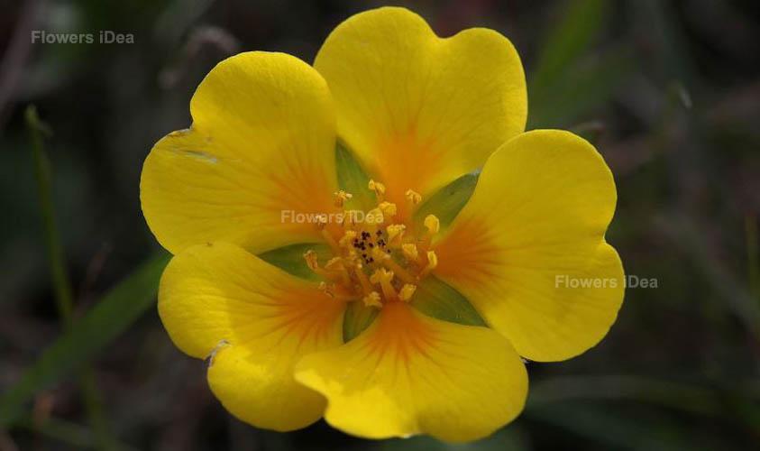 Potentilla Yellow Fall Flowers