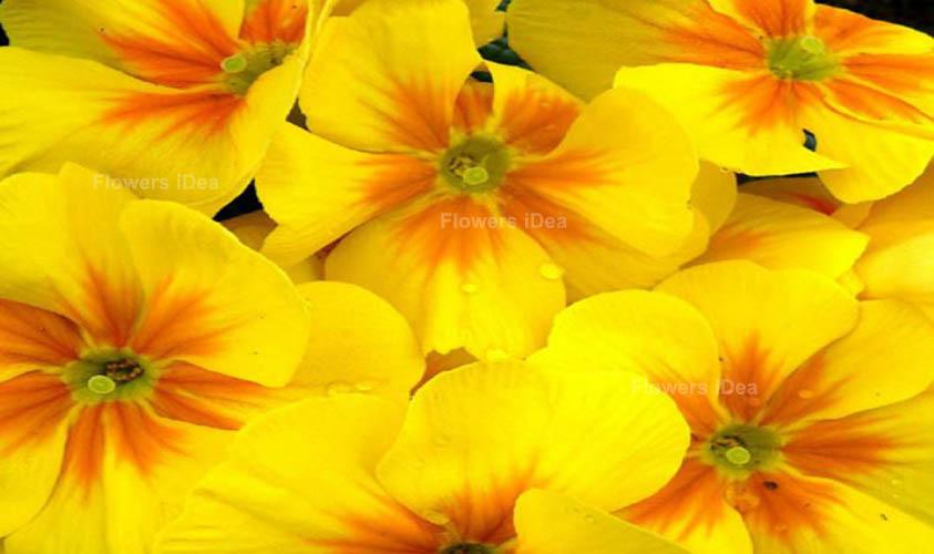 Primula vulgaris Yellow Fall Flowers