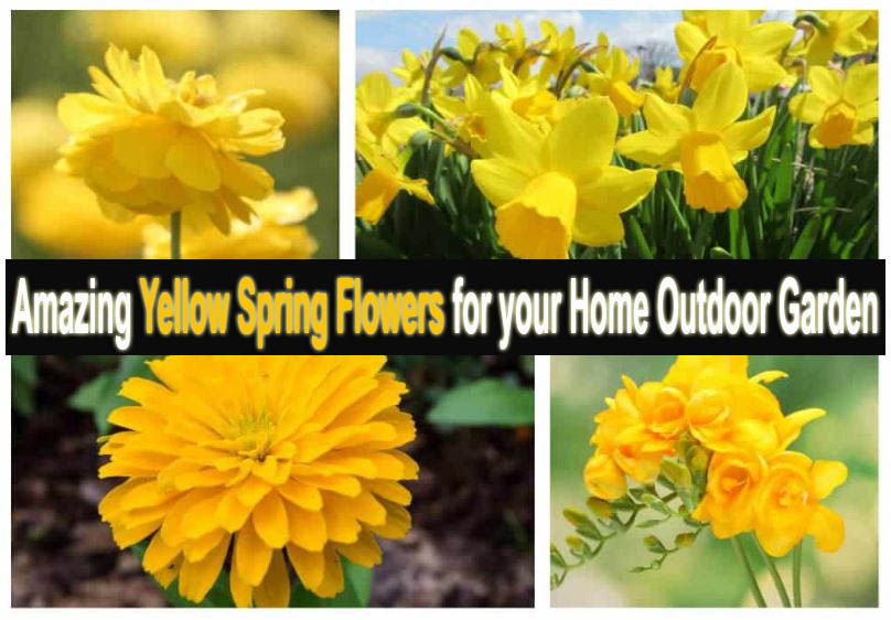 Amazing Yellow Spring Flowers for your Home Outdoor Garden