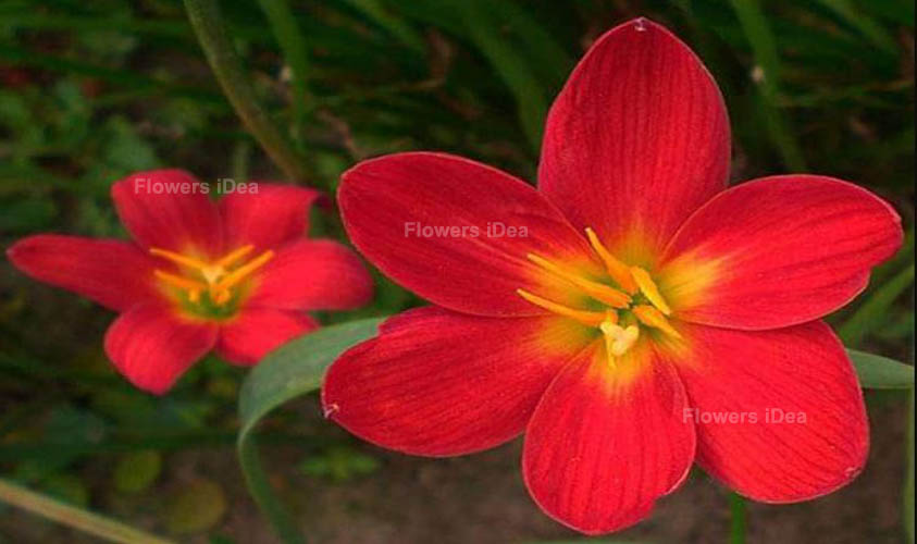 Zephyr Lily Red Fall Flowers